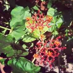 The tropicals are out in the Haupt Garden & soaking up the sun's rays. Pictured : Buddha Belly (Jatropha podagrica)