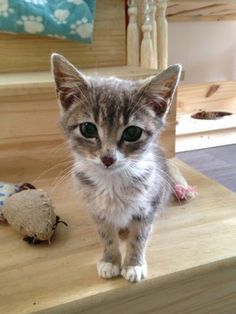Little Dolly is currently in kitty hospital, severely dehydrated and on antibiotics. Woodland Nook Cat Rescue in #Derbyshire is facing a bill of over £200. Please help!