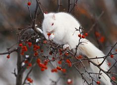 White fur squirrel gathering berries to eat during the cold winter season