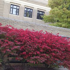 10/10/14 -- Fall foliage really is flaming today on University Park campus. This would be a good weekend for an autumn foliage road trip (to Penn State campuses near you, of course.)
