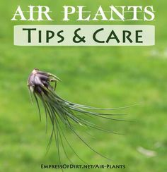 Air Plants: Magical, Mysterious Tillandsias - Empress of Dirt   http://empressofdirt.net/air-plants/