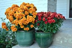 Everything you need to know about fall mums | Angie's List