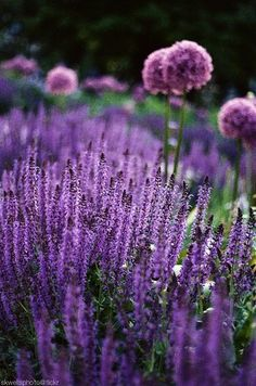 Perennial Garden. Repeat a color for impact. Allium & Salvia. plant, secret gardens, blue garden, the color purple, lavender fields, english cottages, purple flowers, beauti, purple garden