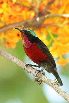 Purple-throated Sunbird, male