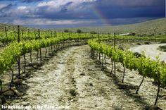 A vineyard in Israel