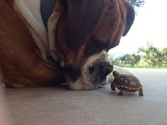 :: friends :: st bernards, boxer, pet, turtles, animal friends, big little, tortoises, new friends, big dogs