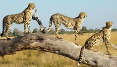 Cheetah brothers in Linyanti, Botswana