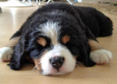 Heidi the Bernese Mountain Dog