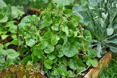 Malabar Spinach - vining spinach cousin that flourishes in the heat of summer <--a newbie for us