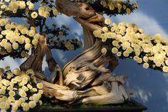 chrysanthemum bonsai at Nagoya Castle, Japan  Google Image Result for http://i.pbase.com/o5/93/329493/1/69871956.GZ5qWqnt.NGONov06346.jpg
