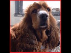Cocker Spaniel | Clover Very Friendly 8 Year Old Cocker Spaniel In The A...