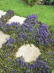 Ajuga - Ground Cover