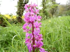 This wild flower, the Early-Purple Orchid is a native, tuberous perennial herb, growing up to 60cm.  Flowers are usually purple to dark pink but lighter and white forms can also occur.  Thanks again to Carl Hawke.  These were spotted in Gunby, Lincolnshire 25 April 2014