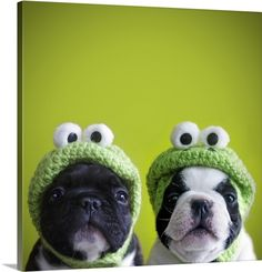 French bulldogs wearing frog hats