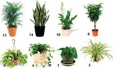 houseplants to purify indoor air: 1 philodendron 5 spider plant 4 english ivy  8 weeping fig 9 golden pothos 10 peace lily 13 bamboo or reed palm14 snake plant