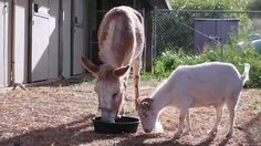 Mr. G (goat) and Jellybean (burro) were best friends rescued from an animal hoarder. But, they were sent to separate animal sanctuaries. After watching Mr. G refuse to eat or move due to depression, his animal sanctuary decided to transport in his best friend Jellybean so they could be together again. Mr. G's surprise and happiness at seeing his best friend is adorable!
