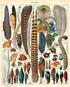 Bird Feather Art Print - Natural History Antique Illustration - Woodland Forest Art - Scientific Illustration Vintage Print. $24.00, via Etsy.