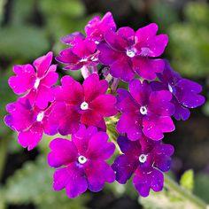 A low-growing groundcover, Lanai 'Deep Purple' Verbena fills the space between taller annuals with its rich, dark purple flowers: http://www.bhg.com/gardening/design/color/purple-flower-garden-ideas/?socsrc=bhgpin102914deeppurpleverbana&page=6