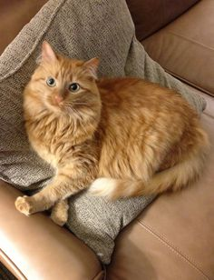 Lost Long Haired Ginger Cat