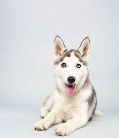 Suri the Siberian Husky puppies, suri, siberian huskies, 2014 puppi, 14 week, animal planet, dog, puppi bowl, bowls