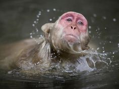 Japanese Macaque Swimming