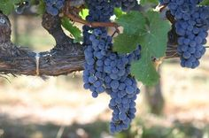 Honeymoon Destinations for Wine Lovers