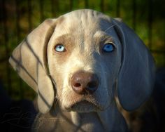 Weimaraner puppy.