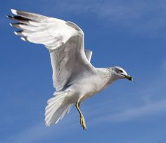 seagull face