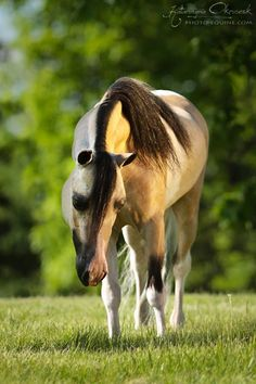 Beautiful Miniature Horse