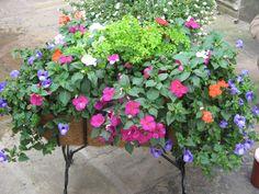 fern planter ideas, invit arkansa, planters, combin planter, garden, ferns, blues, maidenhair fern, arkansas