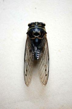 cicada. pretty