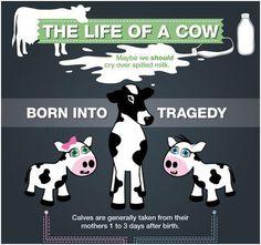 vegetarian meme cows
