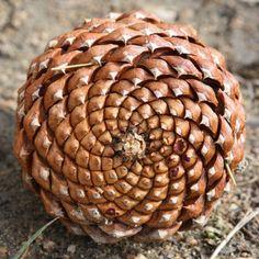 pine cone/design