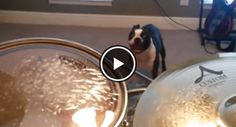 This Boston Terrier got tired of hearing his owner's drum playing, and it's too funny! Watch ► http://www.bterrier.com/?p=25900