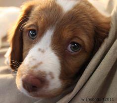brittany spaniel puppy. In love.