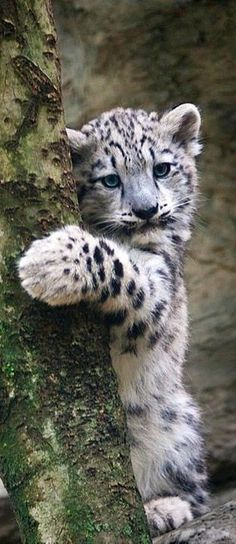 This Snow Leopard Cub Is a Tree Hugger