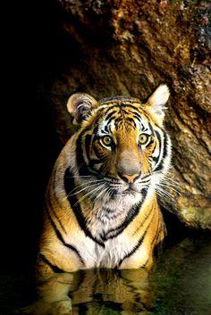stunning tiger #tiger #safari