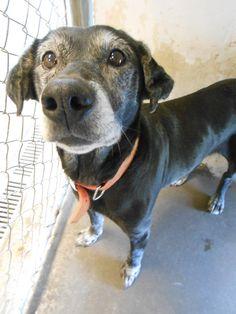 Petfinder  Adoptable | Senior Dog | Black Labrador Retriever | Hornell, NY | Mady