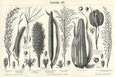#botanical #illustration