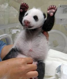 A baby panda, the first born in Taiwan, is checked by staff at Taipei Zoo Picture: AFP/GETTY IMAGES