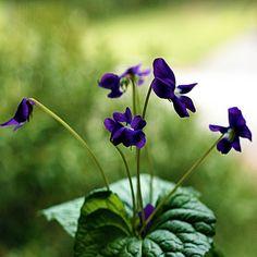 plant, flore, fleur, african violet, purpl, violets, sweet violet, garden, little flowers