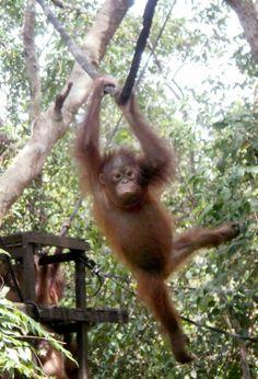 Orangutans go to school | The Jakarta Post