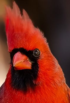 Portrait of a male Northern Cardinal, specatacular, red