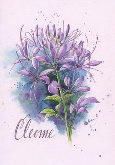 Cleome by Stillman and Birn