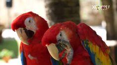 Xcaret receives Guinness World Record for most macaws born in one place in one year.   Xcaret recibe por segunda vez, el Récord Guinness por el mayor número de guacamayas nacidas en una misma instalación en un año.