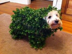 A Jack Twin costumed as a Chia pet for Halloween!               could do this for lola for halloween!!!! hahaha