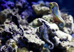 konik morski (Hippocampinae) Akwaria morskie - Akwarium Gdyńskie