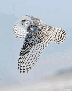 Beautiful Owl in flight.