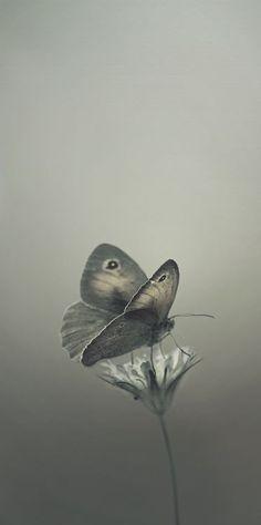 butterfli, color gris, queen bee, grey, papillon