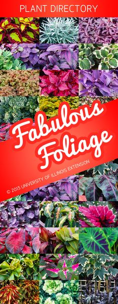 """Why settle for boring foliage? Check out this directory of 26 plants with """"Fabulous Foliage"""" from University of Illinois Extension"""
